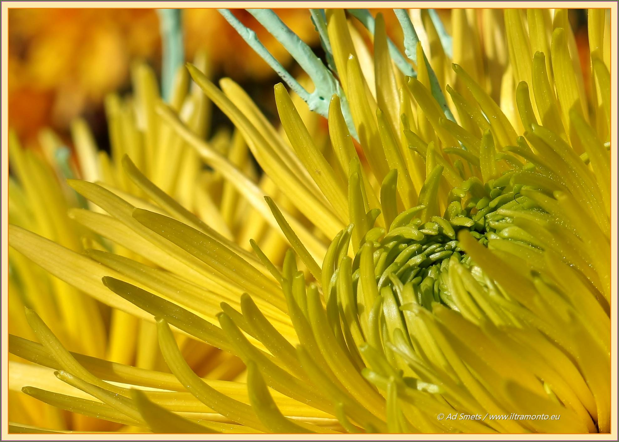 spinchrysant_5346-il-tramonto
