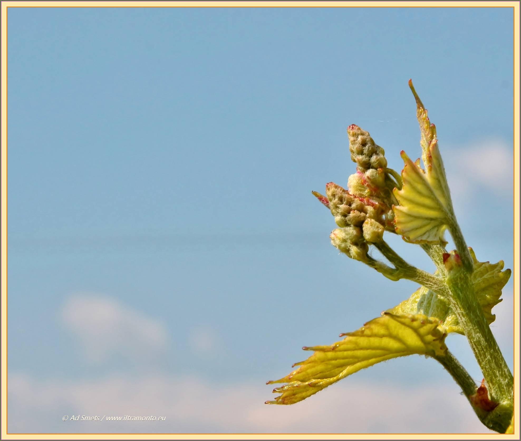 wijnrank_9564_il-tramonto