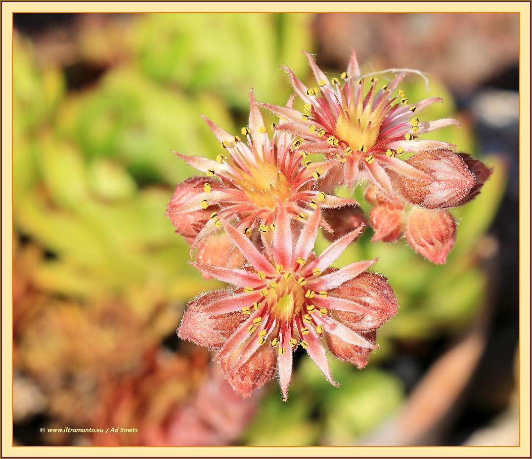 vetplant-in-bloei_ad-smets_9020